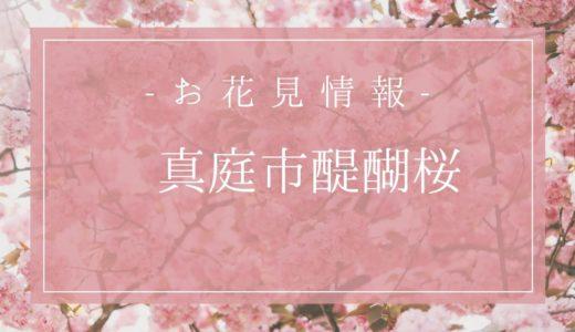 岡山醍醐桜の開花時期は3月27日?由来や駐車場情報もまとめるよ!